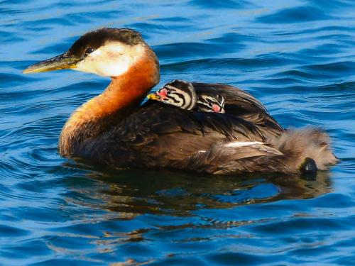 Red-necked Grebe and chicks 19.5 John Lamont  Nature Silver