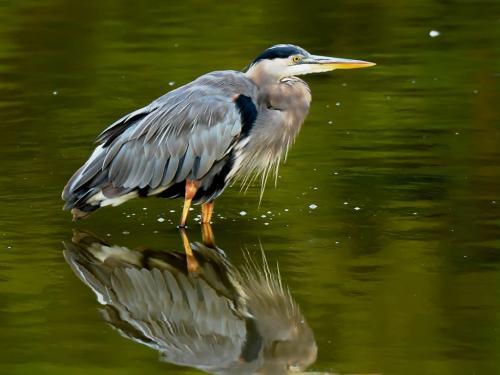 Great Blue Heron 20 John Lamont  Nature Silver