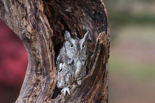 Eastern Screech Owl 21.5 Andy Langs  Pictorial Silver