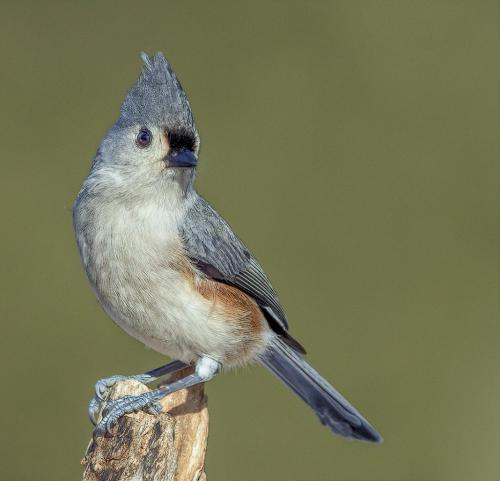 TUFTED TITMOUSE 19.5 Gary Love  Nature Master