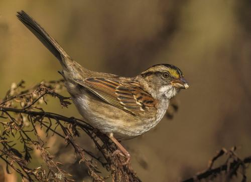 WHITE THROATED SPARROW 22.5 Gary Love  Nature Master