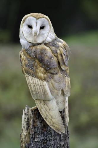 Barn owl 22 Jim Maguire  Nature Gold