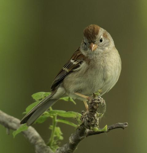 Field Sparrow 22.5 Virginia Stranaghan  Nature Gold