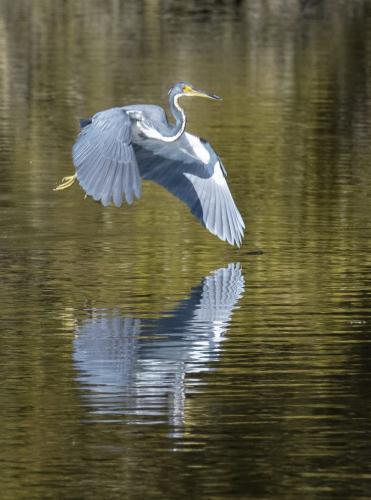 GREAT BLUE HERON 20.5 Herb McClelland  Nature Silver
