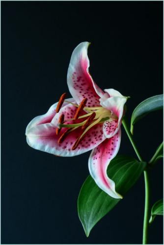 Lily 23 SPP Janet McNally  Pictorial Silver