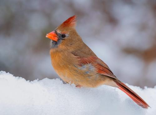 Female Cardinal 23 GPP Bela Acs  Nature Gold