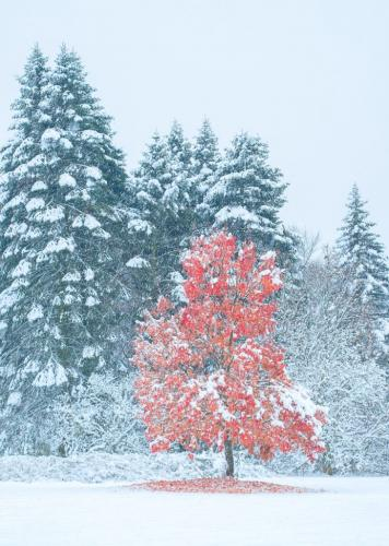 First snow 2018 Nov 16-Red Maple 22 Bela Acs  Pictorial Gold