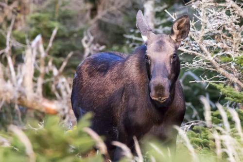 Moose in Cape Breton 20.5 Jeanne Pickles  Nature Gold