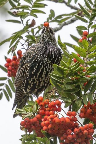 Starling 24.5 HM GPP Jeanne Pickles  Nature Gold
