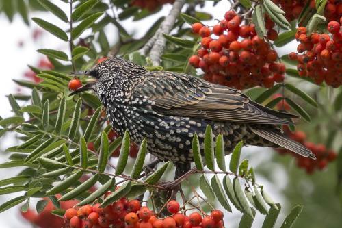Starling 24 HM GPP Jeanne Pickles  Nature Gold