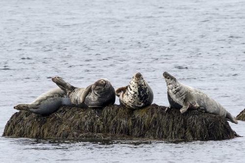 Grey Seals 21 Jeanne Pickles  Nature Gold