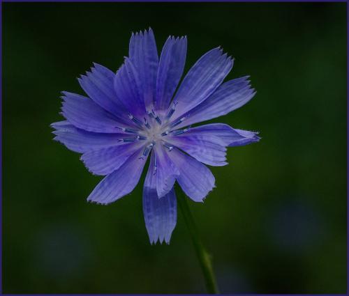 Chicory 6 7 7.5 20.5 Doug Doede  Nature Master