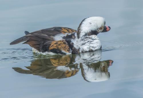 Longtail Duck 7 7 7 21 Gary Love  Nature Master