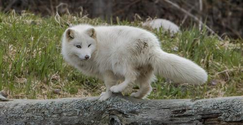 Artic Fox 6.5 8 7.5 22 Gary Love  Nature Master