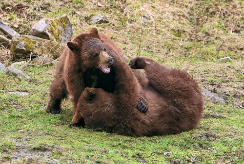 Cinnabon Bears 7.5 7.5 7.5 22.5 Gary Love  Nature Master