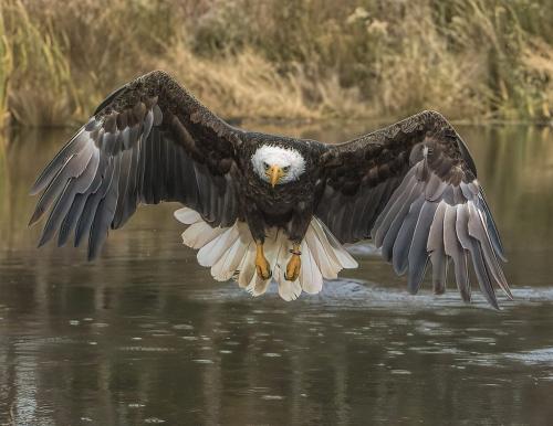 Bald Eagle 8.5 7.5 7.5 23.5 Gary Love  Nature Master