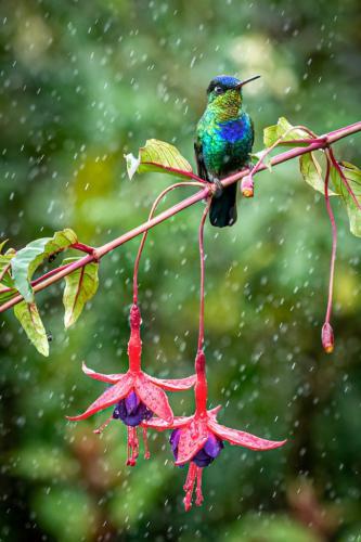 Firey-Throated Hummingbird 9 7 8.5 24.5 HM GPP Kathryn Martin  Nature Gold