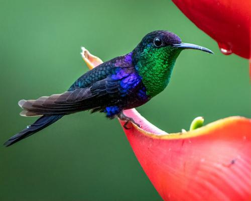 Violet Sabrewing Hummingbird 6 7 7.5 20.5 Kathryn Martin  Nature Gold
