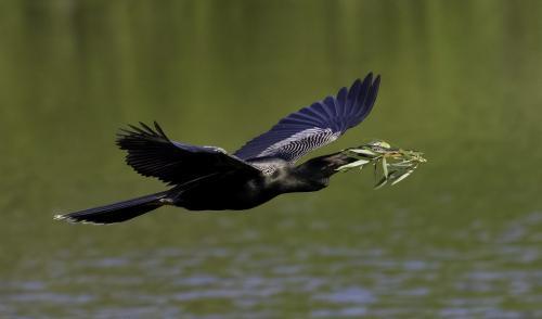 Anhinga With Nesting Material 7.5 8.5 8.5 24.5 HM DP David Seldon  Nature Master