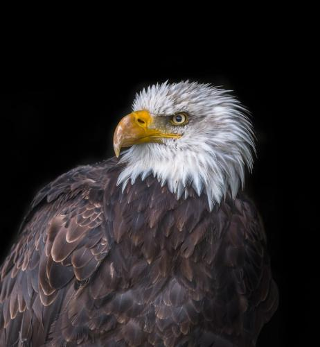 Bald Eagle 8.5 7.5 8 24 HM GPP Bertin Francoeur  Pictorial Gold