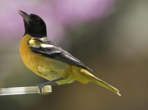 Baltimore Oriole Male 6 6.5 6.5 19 David Seldon  Nature Master
