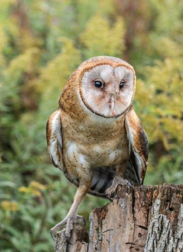 Barn Owl 7.5 6.5 7 21 Bertin Francoeur  Nature Gold