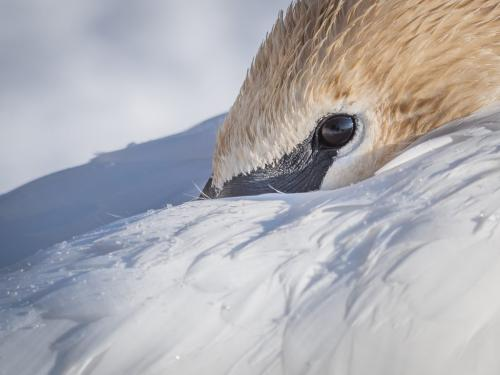 Trumpeter Swan 7.5 7.5 7 22 SPP Mike Mulvale  Nature Silver