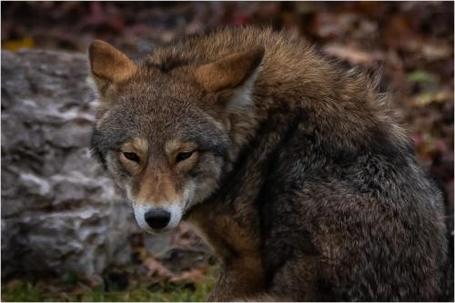 Coyote 6 8 7 21 Jim Sykes  Nature Gold
