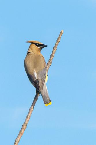 Cedar Wax Wing 7 7 8 22 Andy Langs  Nature Gold