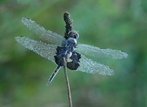 Black Saddlebags Dragonfly 7.5 6.5 8 22 Heather Engel  Nature Master