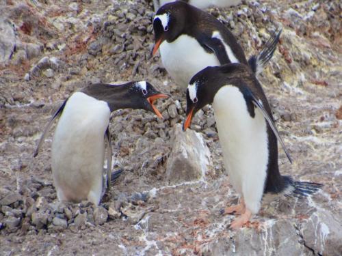 Gentoo Penguins 7 6 7.5 20.5 Ewa Rakowski  Nature Silver