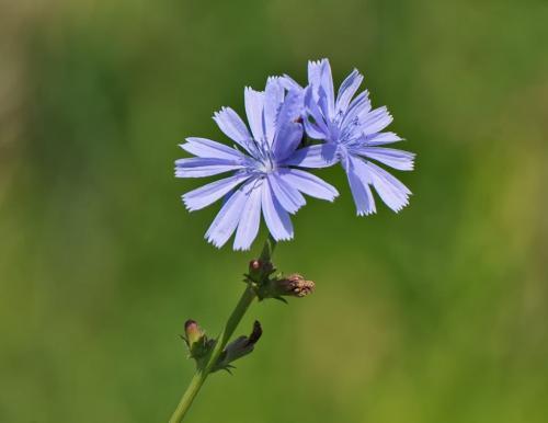 Chicory 7 7 7 21 Heather Engel  Nature Master