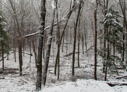 Fallen Trees In Falling Snow 6 7.5 7 20.5 David Evans  Pictorial Gold