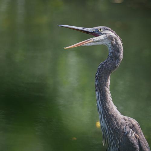 Great Blue Heron 7 6.5 7.5 21 John Strung  Nature Gold