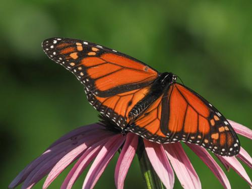 Monarch Butterfly 6.5 7.5 7 21 John Strung  Nature Gold