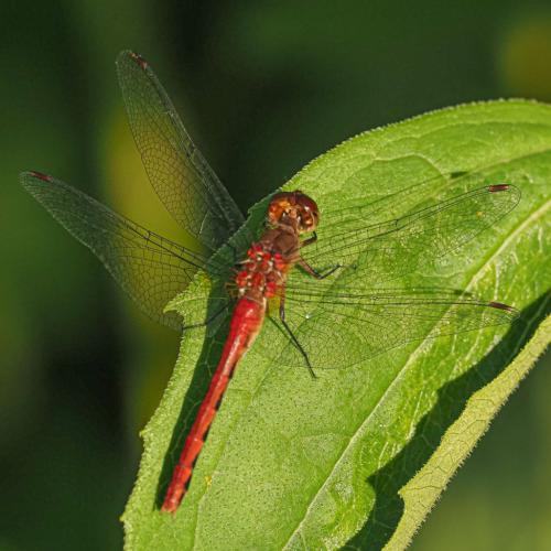Orange Meadowhawk Dragonfly 6.5 6.5 7 20 John Strung  Nature Gold