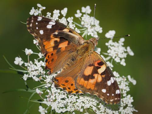 Painted Lady Butterfly 7.5 7 7.5 22 John Strung  Nature Gold