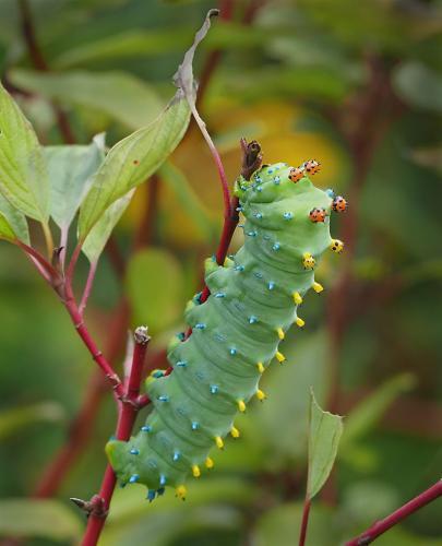 Cecropia Moth Caterpillar 7.5 8 8 23.5 GPP Colleen Bird  Nature Gold