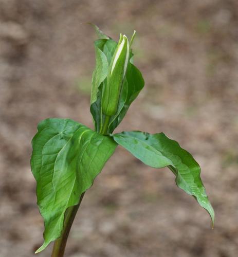 Trillium In Bud 6.5 7 7 20.5 Colleen Bird  Nature Gold