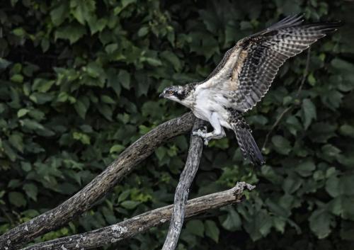 Osprey Fledgling 6 6.5 7.5 20 Greg Alderson  Nature Gold