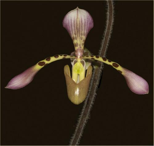 Orchid 8 7 7 22 Elzbieta Piskorz  Pictorial Gold