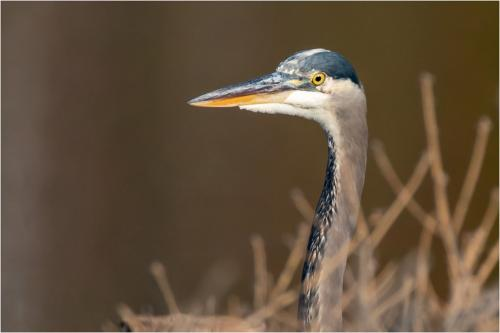 Great Blue Heron 7 7.5 7 21.5 Jim Sykes  Nature Gold