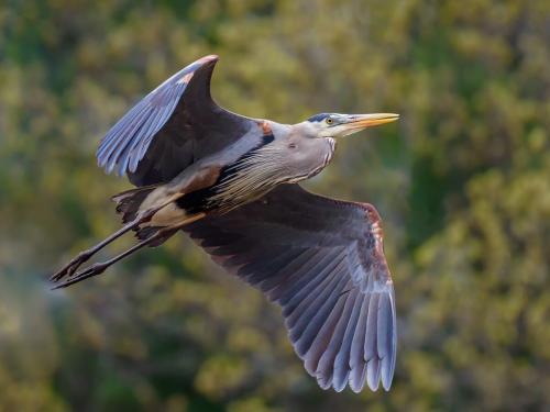 Great Blue Heron Flyby 7 7.5 8.5 23 GPP Brian Floyd  Nature Gold