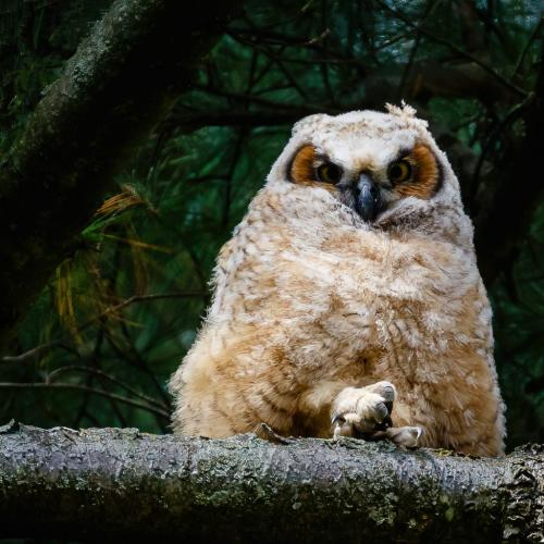 Great Horned Owl 6.5 7 7 20.5 Jim Thomson  Nature Gold