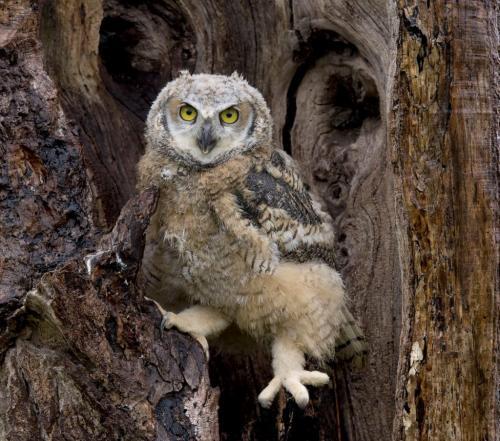 Great Horned Owlet 9.5 8 7 24.5 HM GPP Pat Wintemute  Nature Gold