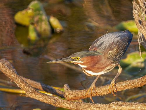 Green Heron In Habitat 7 7 7.5 21.5 Terry Ross-Poulton  Nature Gold