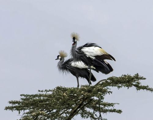 Grey-Crowned Cranes 7.5 7.5 7.5 22.5 Jim Maguire  Nature Gold