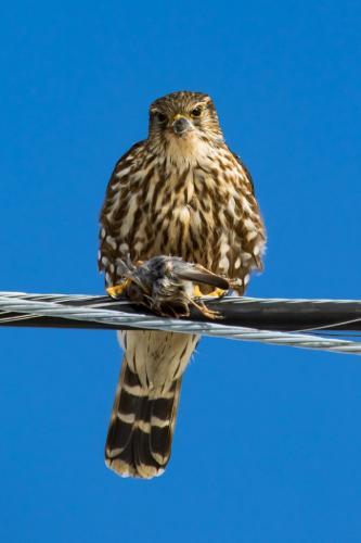 Cooper'S Hawk With Prey 7 7.5 7.5 22 Geoffrey Skirrow  Nature Gold