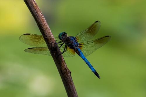 Blue Dasher Dragonfly 6 7 7.5 20.5 Geoffrey Skirrow  Nature Gold