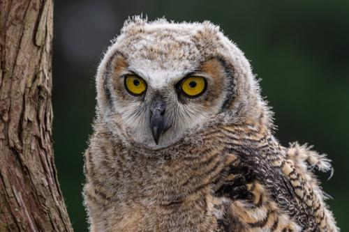 Juvenile Great Horned Owl 8 7 7 22 Don Poulton  Nature Master
